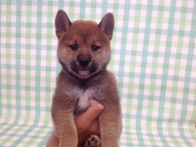 柴犬 ¥157000→¥127000(税別)
