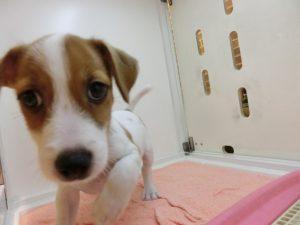 ミックス犬(チワワ&ミニダックス) 男の子 2012・5・16 頃 値段:お家が決まりました