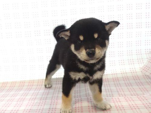 ㉔柴犬9/5迄¥167000