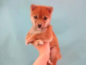 ⑤柴犬¥227000→¥177000