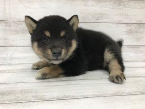 柴犬¥227000(税別)→4/20~5/6まで¥30000引き
