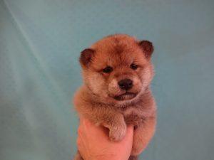 ⑯柴犬 ¥167000→¥117000