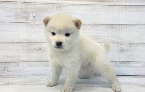 ⑤柴犬alt=