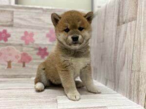 ⑤柴犬 ¥305,800(税込)