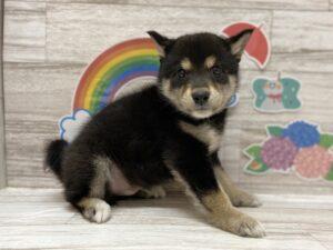 ③柴犬 ¥393,800(税込)→5/23まで¥360,800(税込)