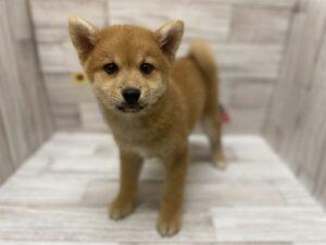 ⑥mix(ポメラニアン×柴犬)