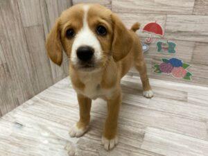 ⑧Mix(キャバリアキングチャールズスパニエル×柴犬) ¥173,800(税込)→¥107,800(税込)