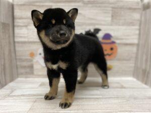 柴犬 ¥183,700(税込)