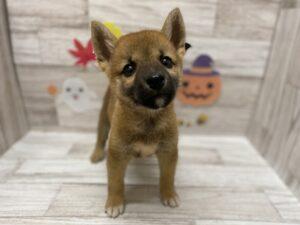 ⑭柴犬 ¥217,800(税込)→9/30までフェア価格¥184,800(税込)