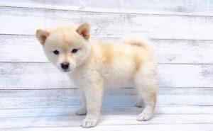 柴犬¥315,700(税込)