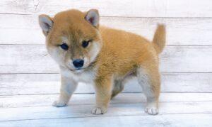 柴犬¥183.700(税込)