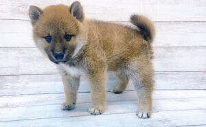 柴犬¥216,700(税込)